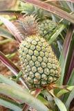 绿色未成熟的菠萝 库存图片