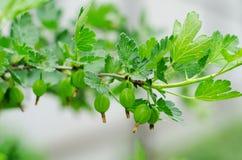 绿色未成熟的鹅莓在灰色的一个分支 库存图片