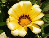 黄色杂色菊属植物 免版税库存图片