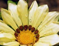 黄色杂色菊属植物 图库摄影