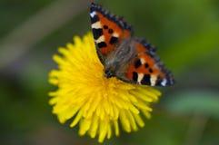 黄色杂色菊属植物 库存照片