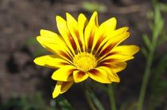 黄色杂色菊属植物 免版税库存照片
