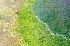 绿色杂草,海杂草 免版税库存图片