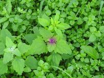 紫色杂草 库存照片