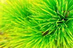 绿色杉木叶子 免版税库存图片