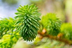 绿色杉木针明亮的晴天 免版税图库摄影