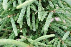 绿色杉树或杉木分支 免版税库存图片