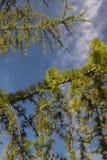 绿色杉树束 免版税库存照片
