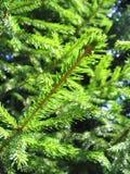 绿色杉树 免版税库存照片
