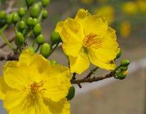 黄色杏子开花和它的芽 免版税库存照片