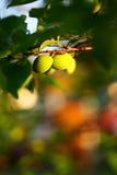 绿色杏子 免版税库存图片