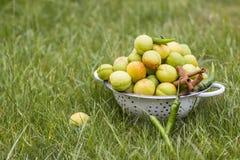 绿色杏子 免版税库存照片