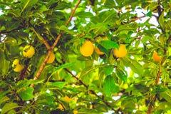 黄色杏子 库存图片
