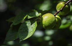 年轻绿色杏子 库存照片
