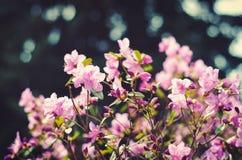 紫色杜娟花 库存照片