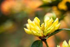 黄色杜鹃花芽 库存照片