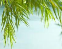 绿色杨柳叶子 免版税库存照片