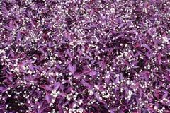 紫色杯子白苋 库存图片