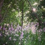 紫色极乐 免版税库存图片