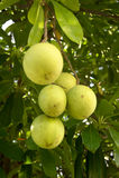 绿色果子在树 图库摄影