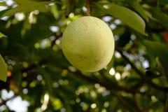 绿色果子在树 库存图片