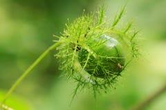 绿色果子 免版税库存图片