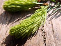 绿色枝杈云杉 库存图片