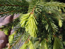 绿色枝杈云杉 免版税图库摄影