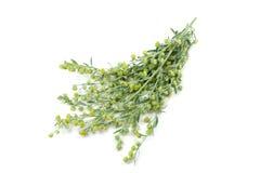 年轻绿色枝杈苦涩蒿木 免版税库存图片
