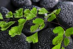 绿色枝杈铁线蕨属蕨的美好的温泉概念在禅宗玄武岩的 免版税库存照片