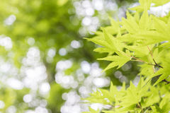 绿色枫叶摘要背景和纹理 库存照片