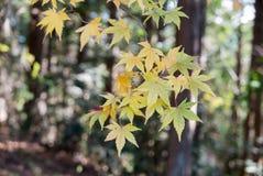 黄色枫叶 免版税图库摄影