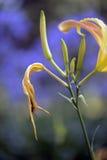 黄色枯萎了在蓝色背景的花 免版税库存照片