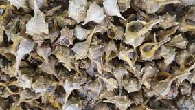 紫色染料murec海洋蜗牛软体动物 库存照片