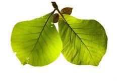 绿色柚木树 库存图片