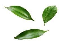 绿色柠檬叶子被隔绝的白色背景 库存照片
