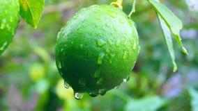 绿色柠檬在日本庭院里 图库摄影