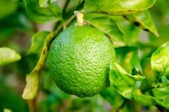 绿色柠檬在泰国庭院里 免版税库存图片