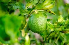 绿色柠檬在泰国庭院里 库存照片