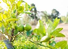绿色柠檬树在庭院里 免版税库存照片