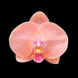 黑色查出的兰花粉红色 免版税库存照片