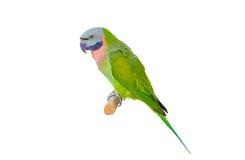 绿色查出的鹦鹉 免版税库存照片