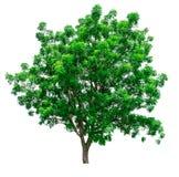 绿色查出结构树 免版税库存图片