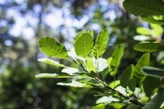 绿色树事假在阳光下 免版税库存图片