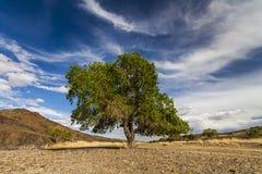 绿色树在沙漠 图库摄影