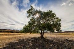 绿色树在沙漠 库存图片