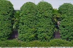 绿色树墙壁在庭院里 库存图片