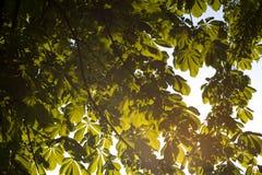 绿色树枝栗子自然摘要背景在晴朗的森林里 图库摄影