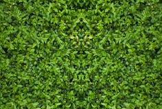 绿色树篱纹理 免版税图库摄影