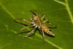 绿色树蚂蚁蜘蛛- Cosmophasis bitaeniata 图库摄影